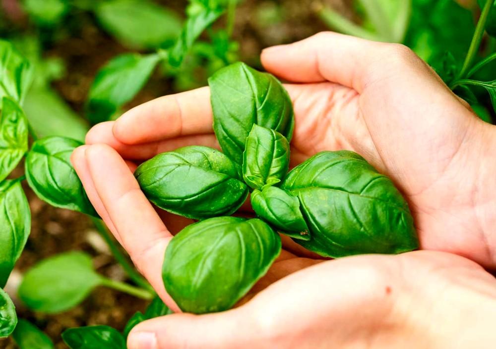 Базилик - выращивание и посадка в открытый грунт