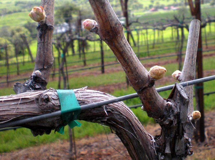 Чем обрабатывать виноград весной