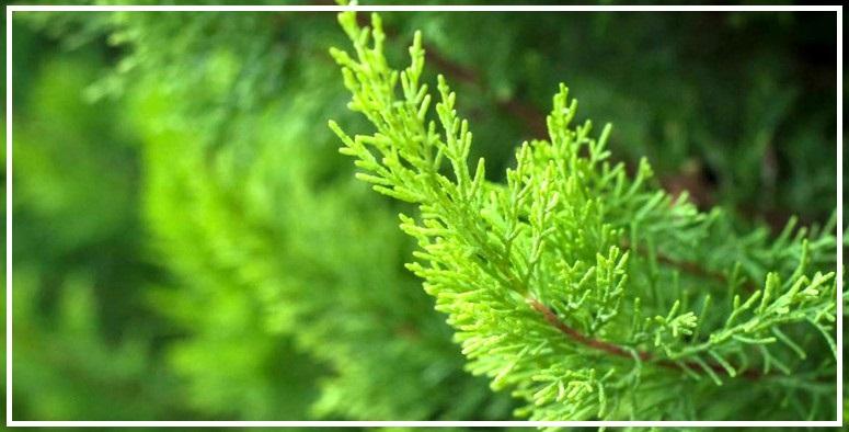 Чем удобрить хвойные деревья осенью