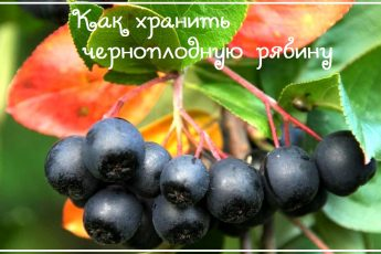 Черноплодная рябина на зиму