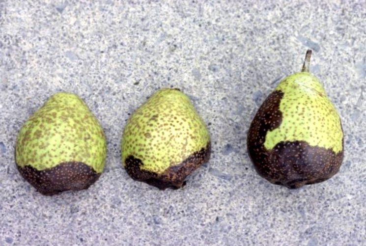 Черный рак груши - Botryosphaeria obtusa