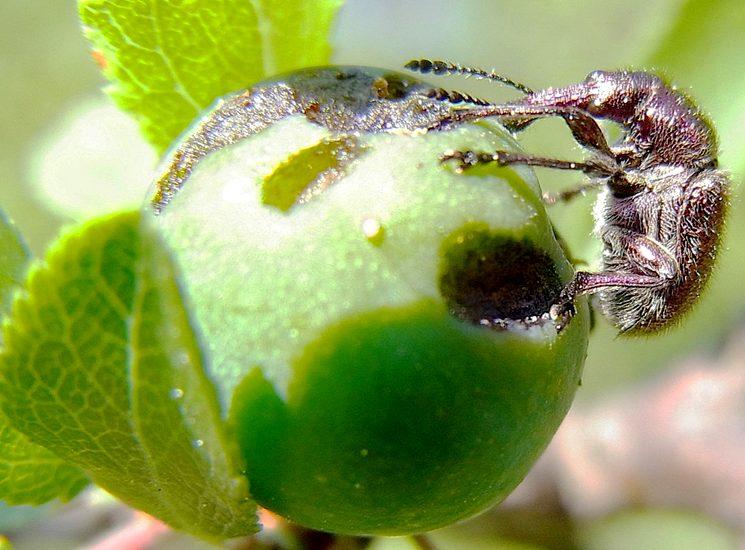 Долгоносик вишневый