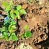 Ежевика садовая - подготовка и схемы посадки ежевики осенью