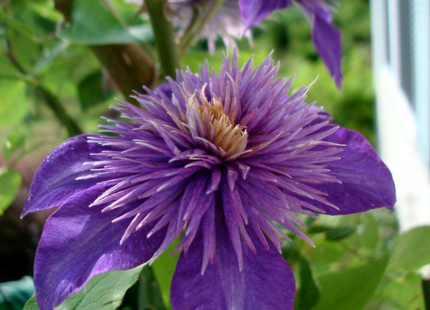 Фиолетовый клематис