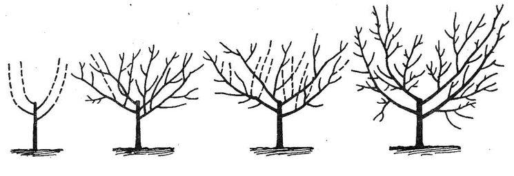 Формирование чашевидной кроны абрикоса