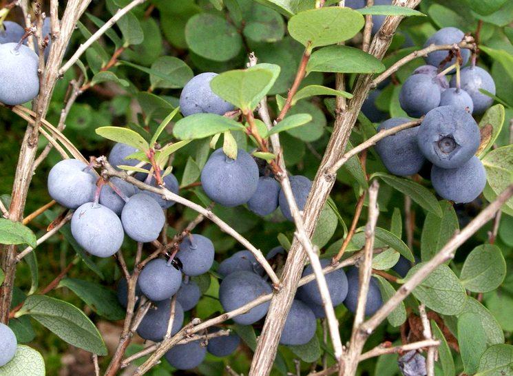 Голубика обыкновенная - Vaccinium uliginosum