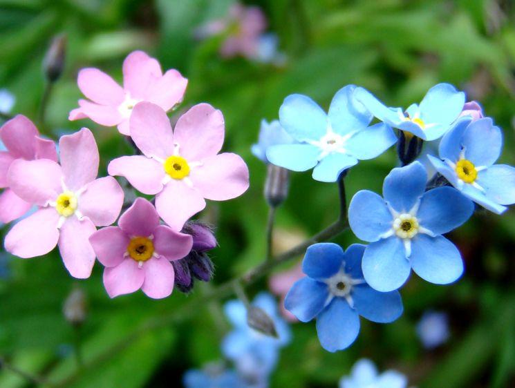 Голубые и розовые незабудки
