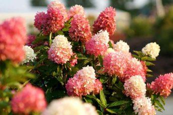 Гортензия осенью - как подготовить садовую гортензию на зиму