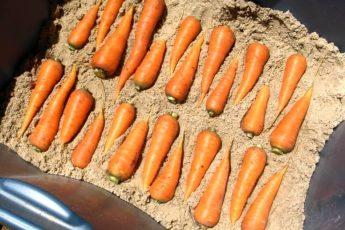 Морковь на зиму - хранение в песке 2