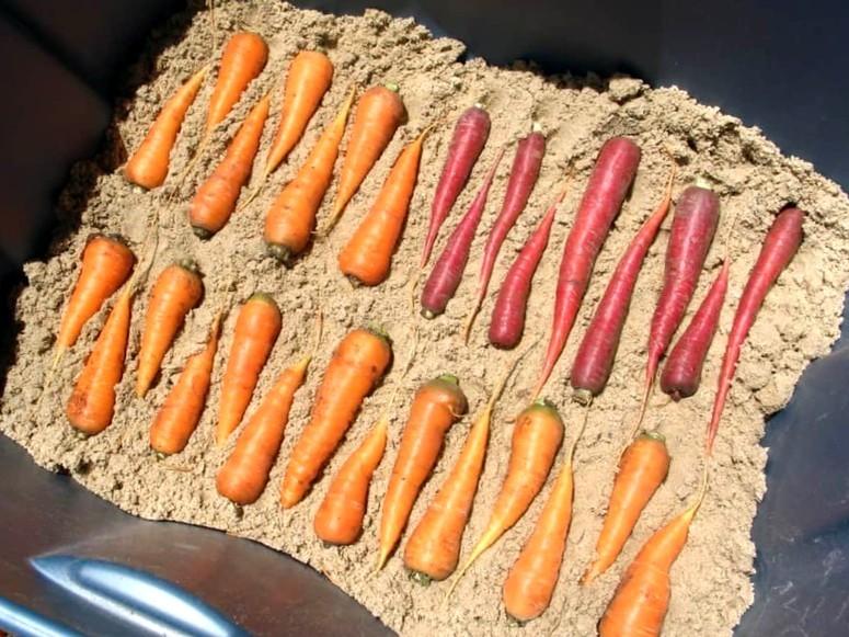 Морковь на зиму - хранение в песке 3