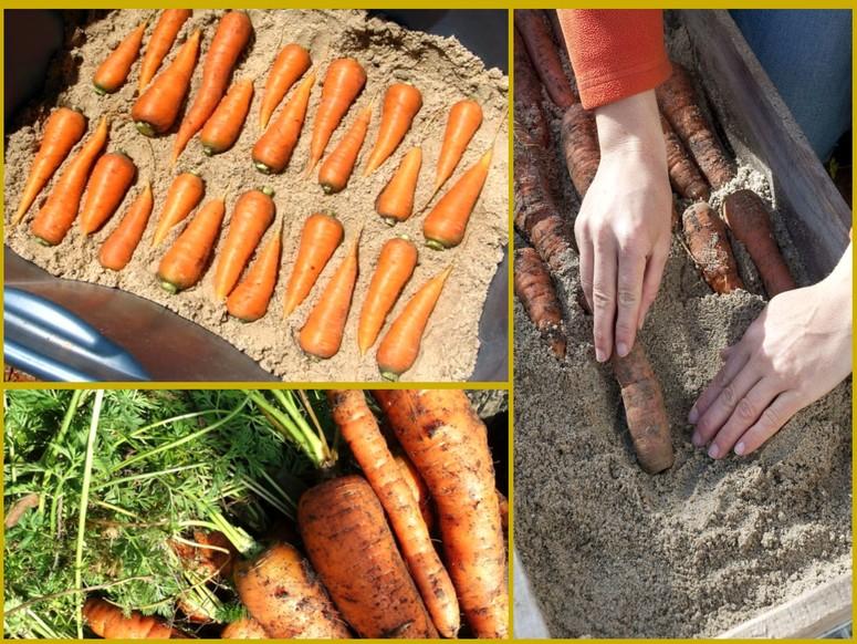 Как хранить морковь свежей всю зиму в песке