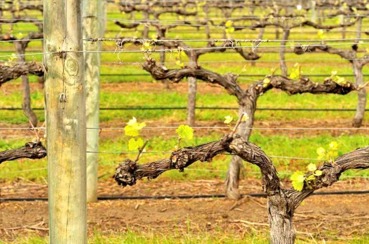 Обрезаем виноград правильно