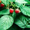 Как подготовить малину к зиме - обрезка, удобрение, полив
