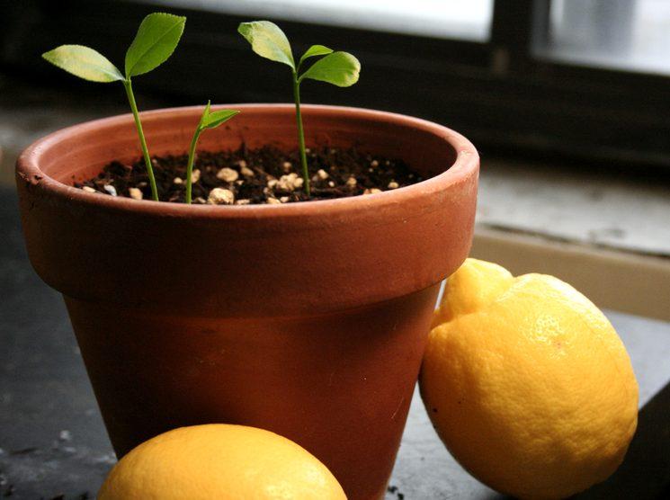 как посадить из косточки лимон дома