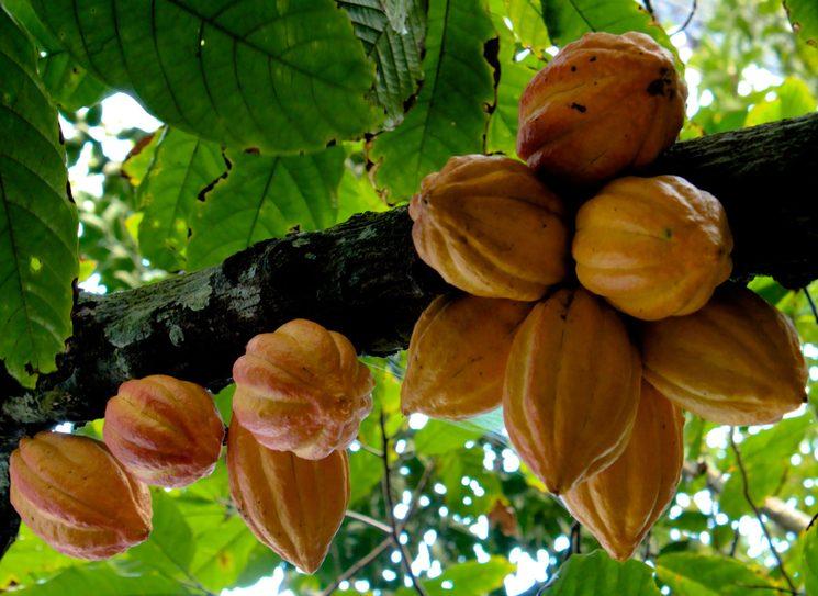 Как растут плоды какао