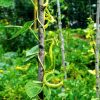 Как сажать и выращивать стручковую фасоль в открытом грунте