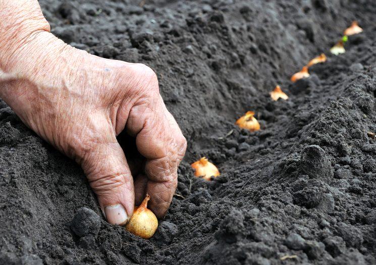Как сажать лук весной