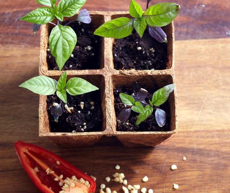как сеять бальзамин на рассаду в домашних