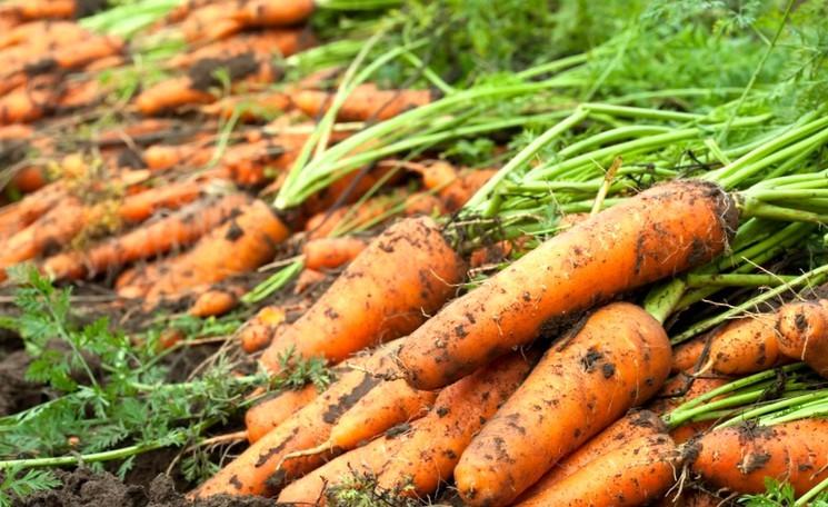 Как сеять семена моркови весной