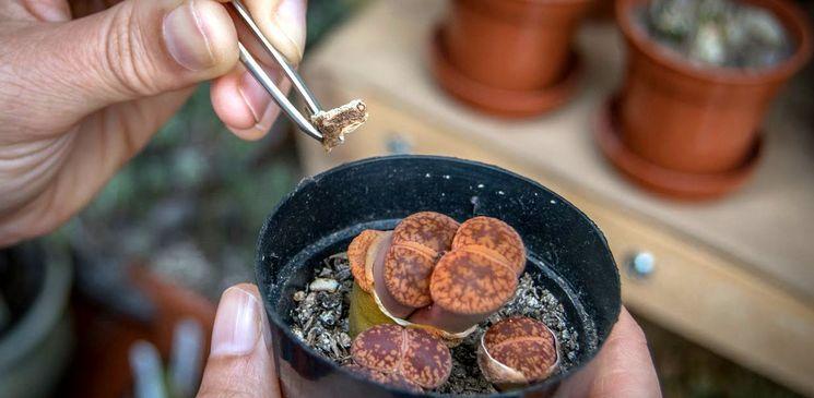 Как подкармливать и удобрять литопсы
