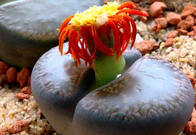 Литопсы - советы о выращивании дома