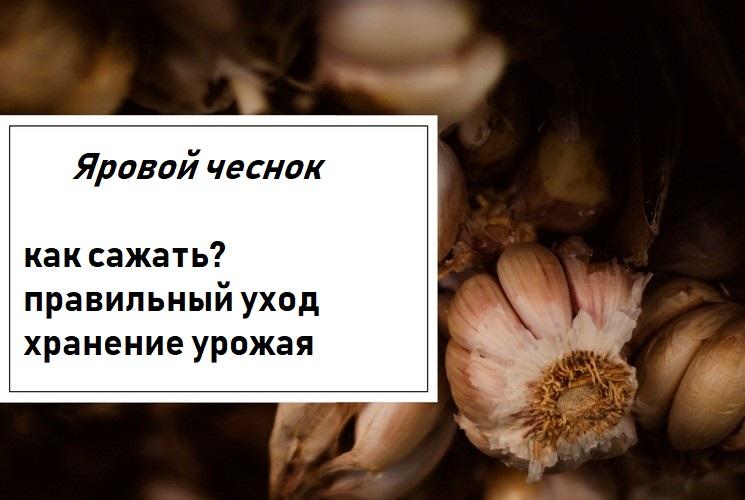Как выращивать яровой чеснок