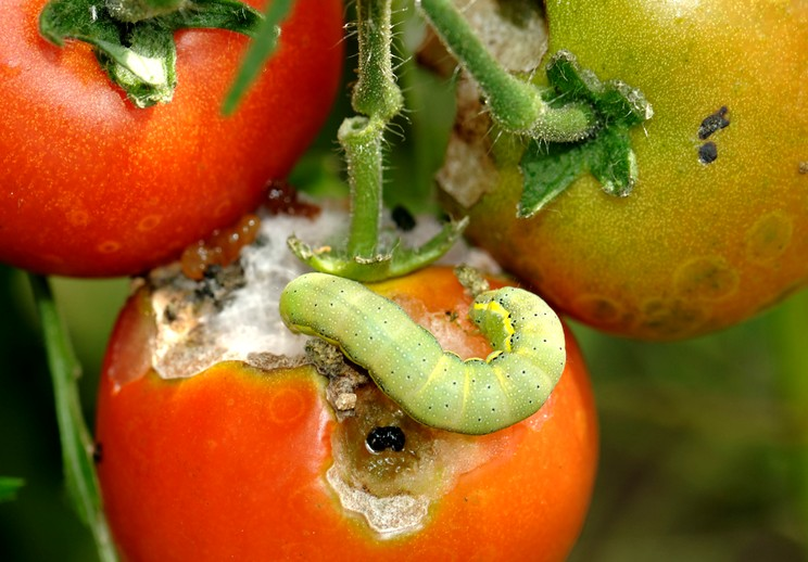 Как защитить томаты от Совки