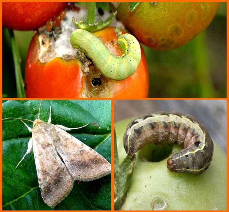 Как защетить томаты от вредителя Совка