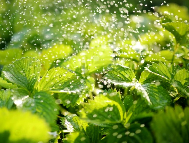 Клубника в конце лета - уход за клубникой в открытом грунте