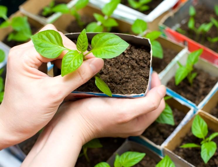 Когда сеять семена баклажан на рассаду