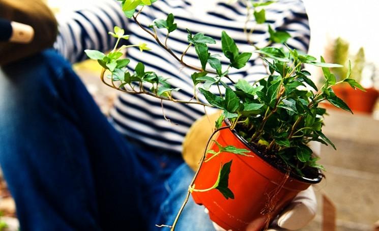 Когда подкармливать комнатные растения?
