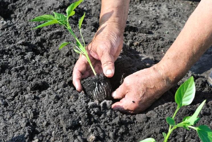 Когда высаживать рассаду перца в открытый грунт