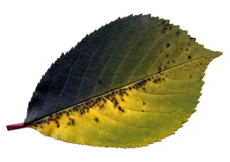 Коккомикоз на листе вишни