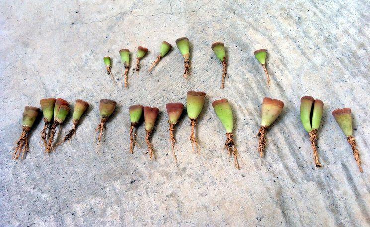 Размножение литопсов