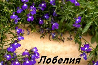 Лобелия - посадка и уход за цветами