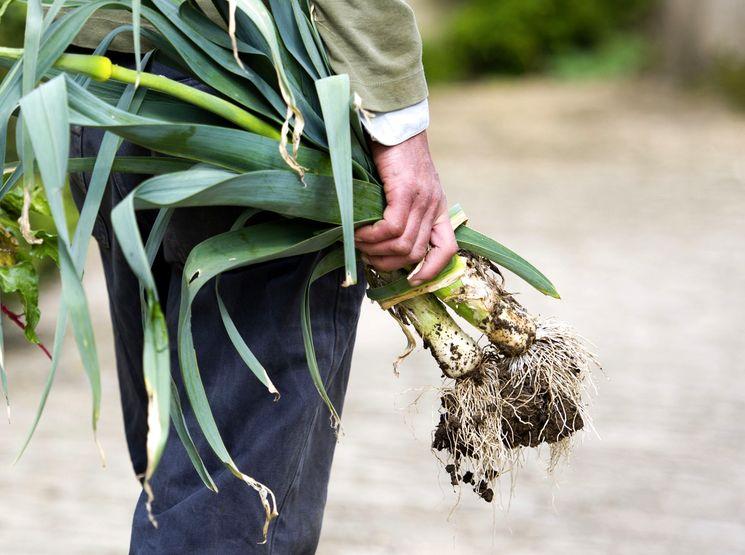 Сбор урожая лука порея