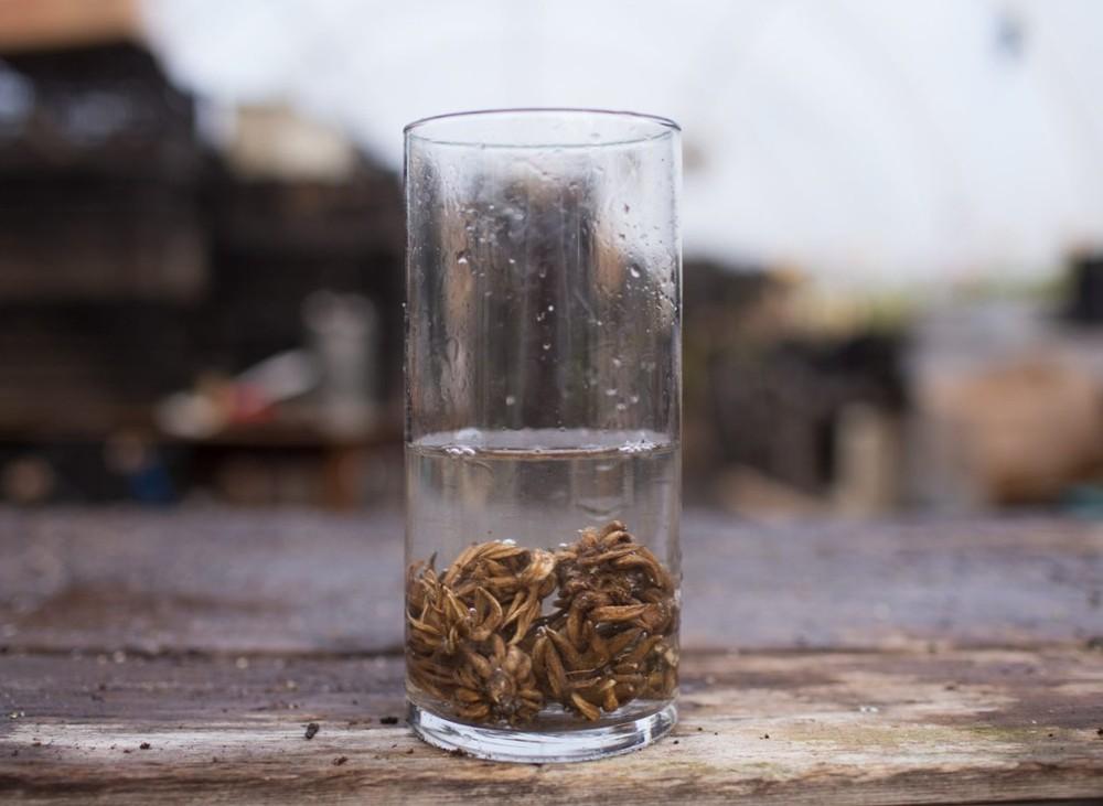 Лютик Азиатский - замачивание семян