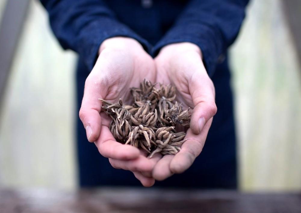 Как выбирать посадочный материал Ранункулюса