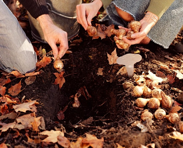 Почва и место для луковиц тюльпанов осенью
