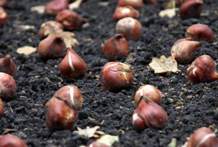 Место и почва для посадки тюльпанов осенью
