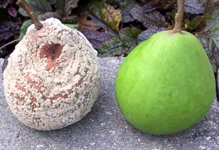 Монилиоз на груше