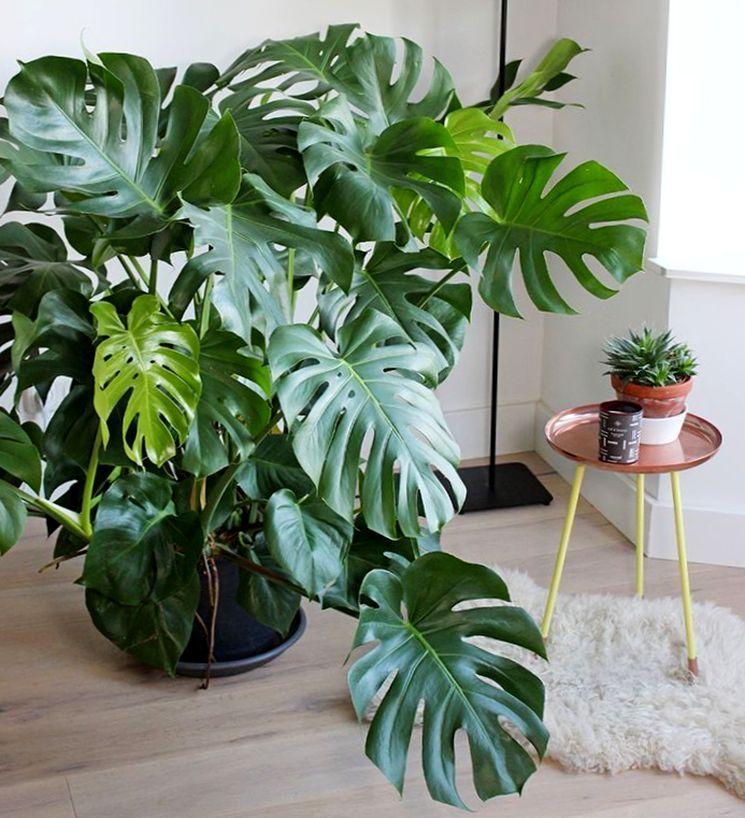 что картинки монстеры комнатное растение также характерная