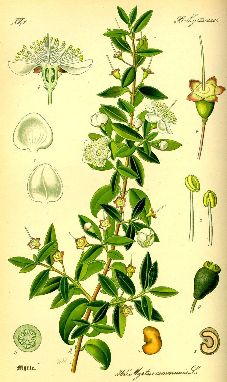 Мирт (Myrtus Communis) - род вечнозелёных древесных растений
