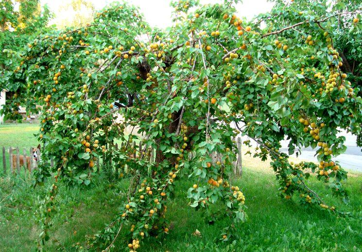Нагрузка на дерево абрикоса