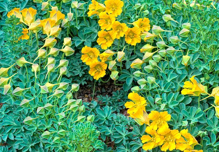 Настурции желтые