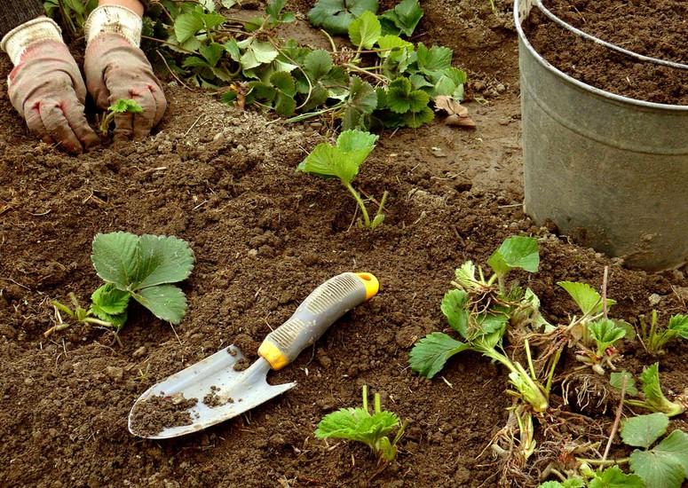 Обновление и посадка новых кустов клубники