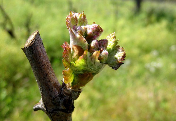 Обработка винограда от болезней