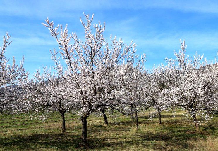 Обрезка абрикоса весной