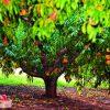 Обрезка персика - как правильно обрезать персиковое дерево