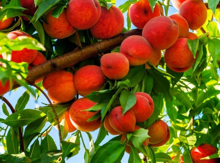 Обрезка дерева персика